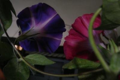 夜まで咲く朝顔