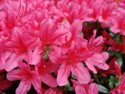 ハチミツとクローバー・・・・じゃなくて、ミツバチとつつじ・・・寒っ( .;´;_ゝ;`:,)