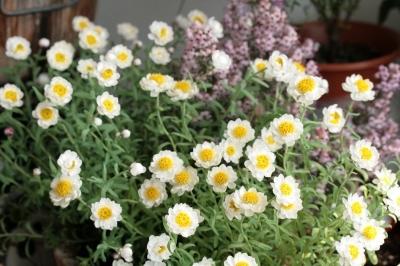 花かんざし 可愛く満開 ヽ(●´w`○)ノカワイイヽ(●´w`○)ノ