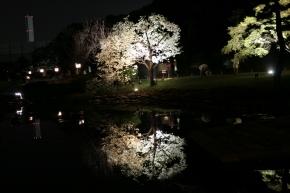 ソメイヨシノ・ライトアップ