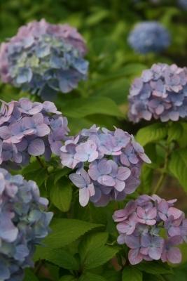 紫色のあじさい♪この色が気に入って、この色のあじさいばっか撮りました。